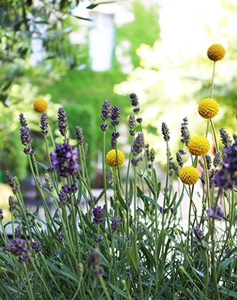 Pour faire des bouquets de fleur séchées, coupez des tiges de lavande et de craspedia. Attachez les puis les faire sécher la tête en bas-background
