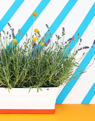 La lavande et le craspedia sont des plantes faciles à entretenir-background