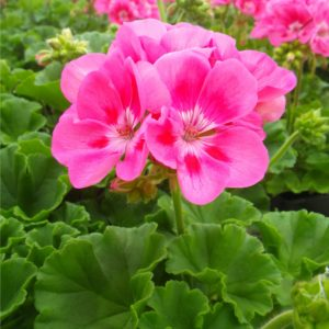 Plantation Fleurie